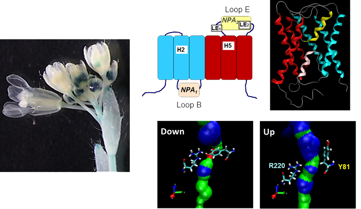 Left, expression profile of the aquaporin-like boron transporter NIP7-1 in developing Arabidopsis flower anthers; Right, topology and structural model of NIP7;1 highlighting the role of tyrosine residues in gating of the pore pathway.